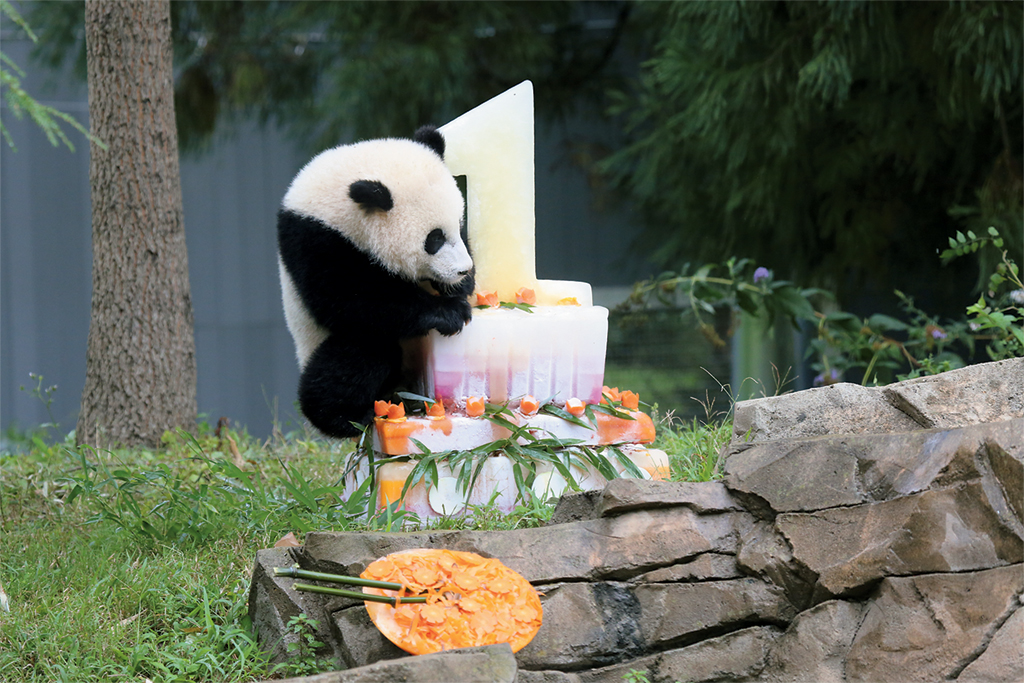 Bao Bao's first birthday. Photograph courtesy of the National Zoo.