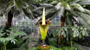 "The Corpse Flower Will Hit ""Peak Smell"" Between 10 AM and 2 PM"