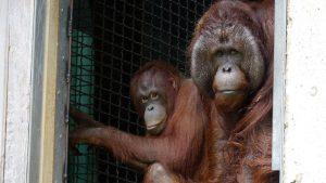 A Salute to an Orangutan Named Kyle
