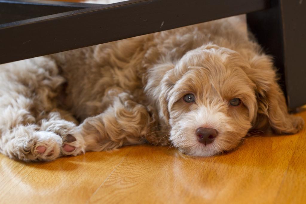 jd-puppy