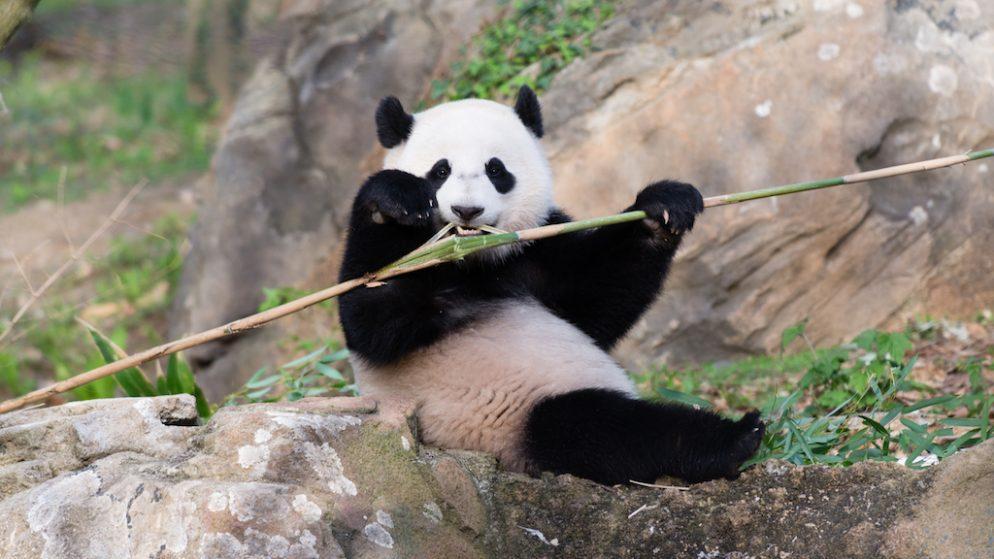 Bao Bao Will Leave DC in Early 2017