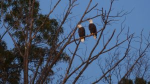 Virginia Residents Sue US Government Over Bald Eagles' Nest