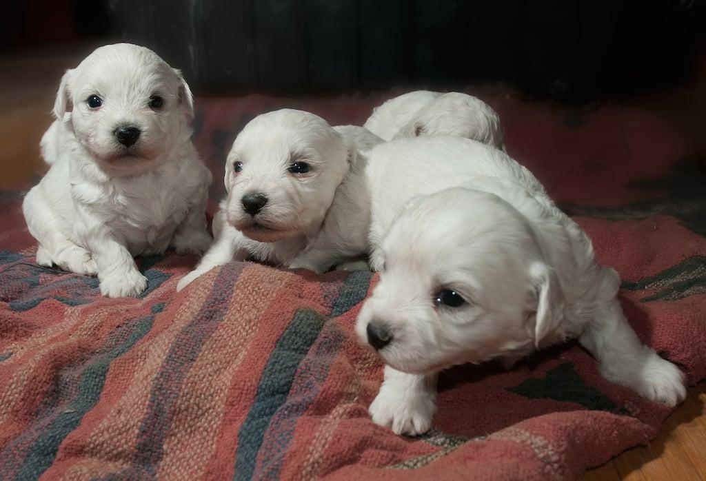 optictopic-puppies