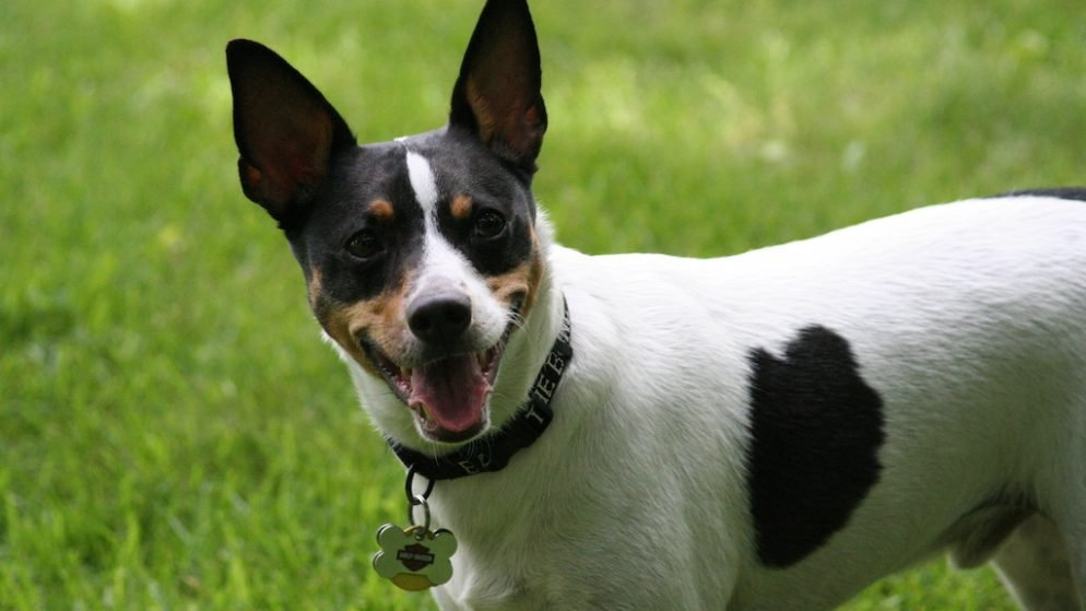 The Rat Terrier Is the Dog That Will Save DC