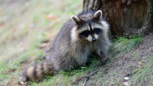 US Park Police Victorious in Battle With Raccoon
