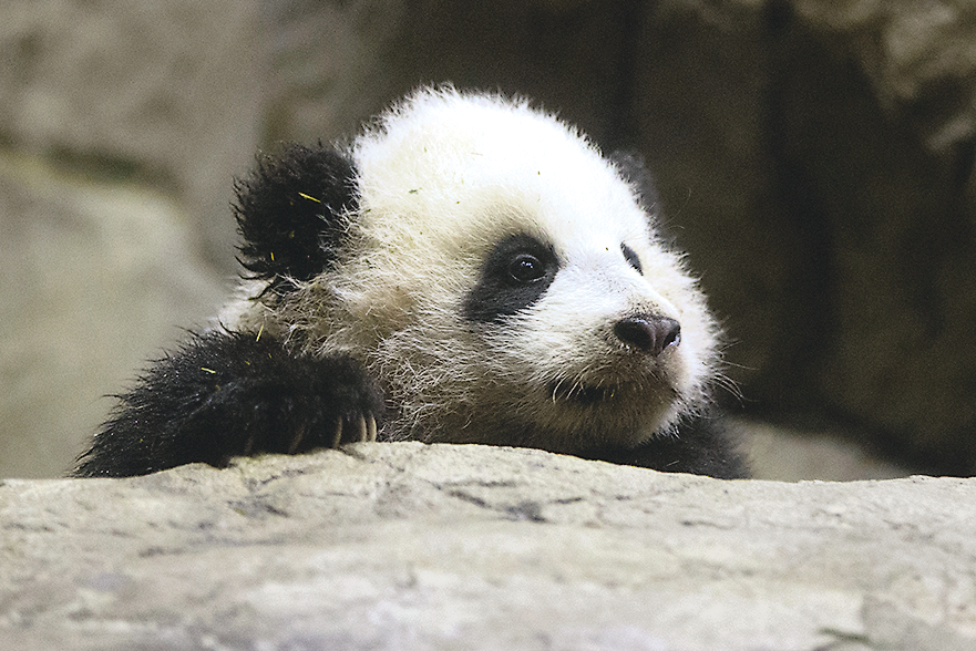 Photograph of Panda by AP Images