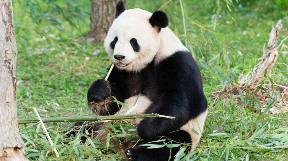 Panda Grandpa