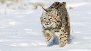 Here's Some Expert Advice on How to Trap an Escaped Bobcat