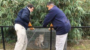 Bobcat Found
