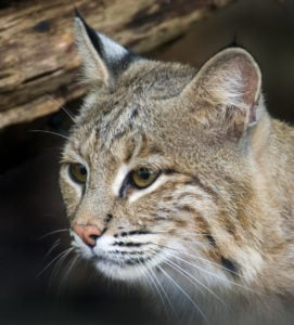 It's a Damn Shame the National Zoo Found Ollie the Bobcat