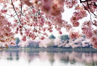 Cherry Blossoms Expected to Hit Peak Bloom on March 17