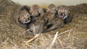 Twelve Cheetah Cubs Were Just Born at the Smithsonian