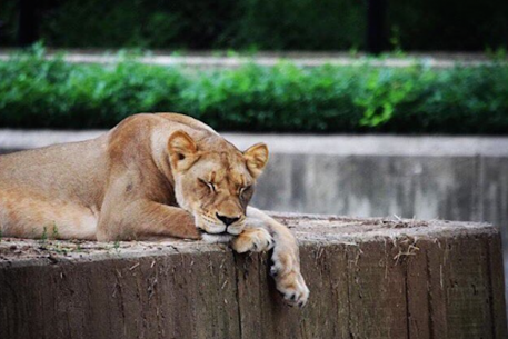 These Lazy Lions at the National Zoo Are All of Us Right Now