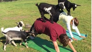 Goat Yoga Is a Thing, And You Can Try It This Summer