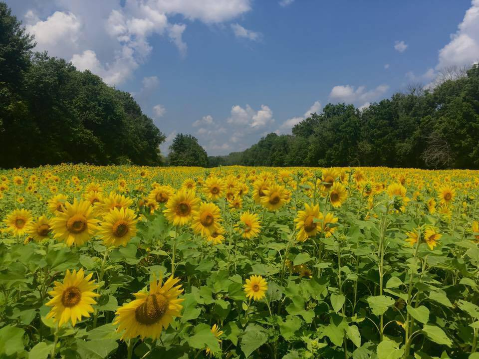 sunflower fields near me perfect via with sunflower fields near me best yes mom we will have a