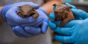 The National Zoo Is Now Home to Two Screaming Hairy Armadillos, Possibly the Best-Named Species Ever