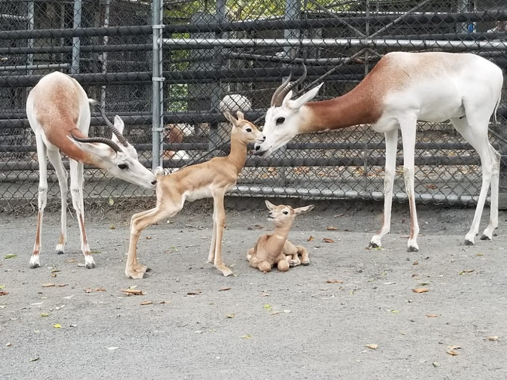 Prepare to Fall In Love With the New Baby Gazelles At the National Zoo