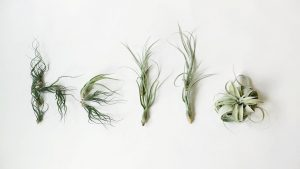 5 Reasons to Add Air Plants to Your Home Décor