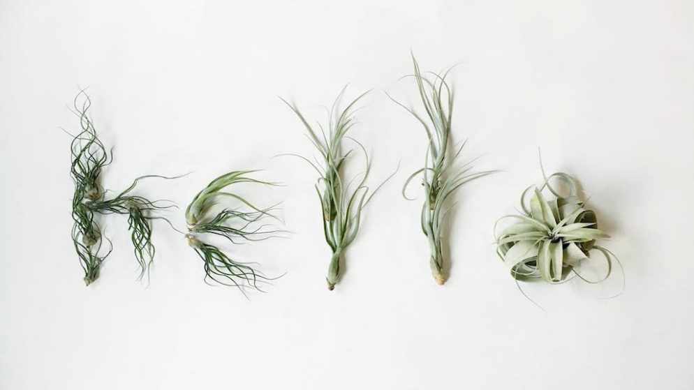 Air Plants Tillandsia How To Care For Air Plants Air Plants May Displayed In An Artistic