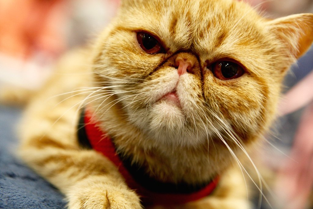 These Photos of the National Capital Cat Show Will Leave You Feline Really Good