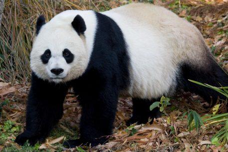 Panda Not Pregnant