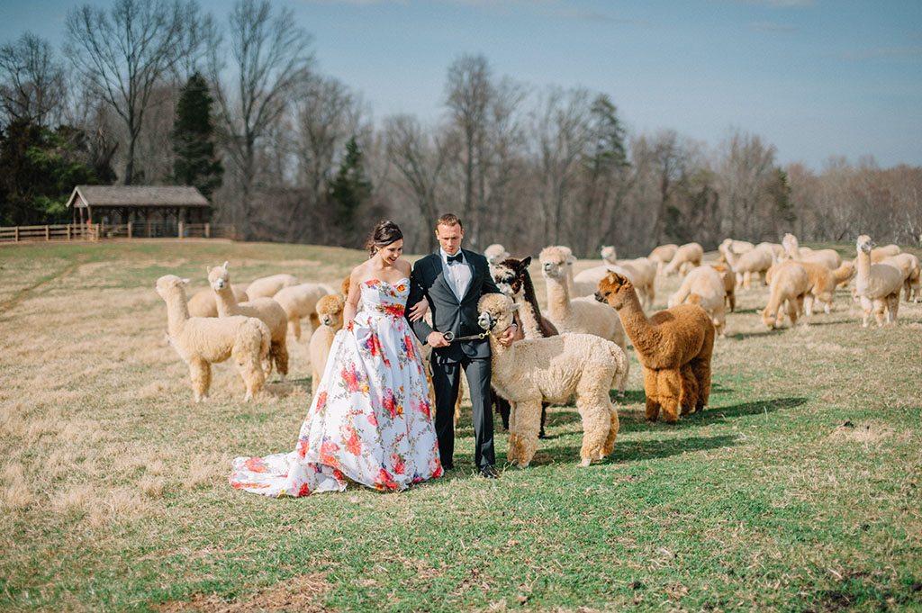 alpaca wedding alpacas wedding wedding with alpacas llama wedding llamas at wedding psychedelic photoshoot northern virginia
