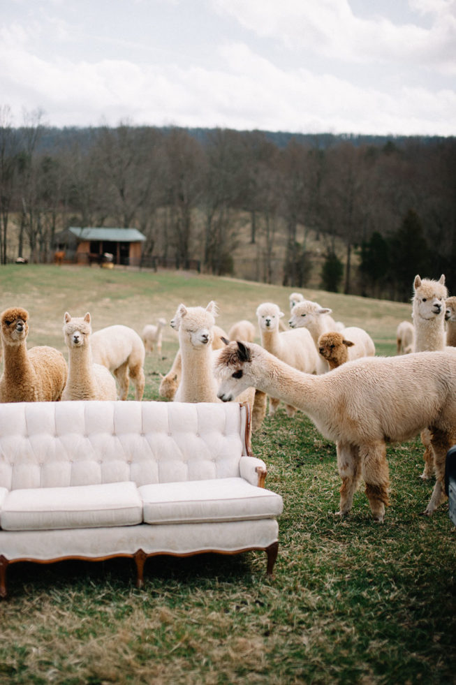 Technicolor Dream | Alpacas | Sarah Houston7