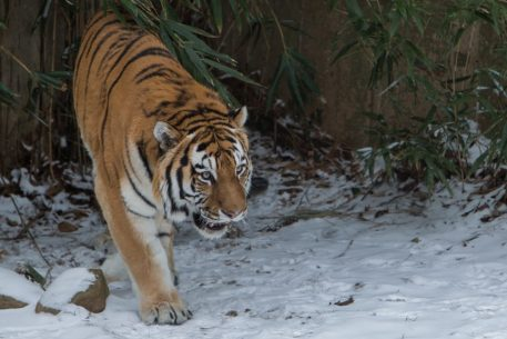 A Tiger From Chicago Has Come to DC