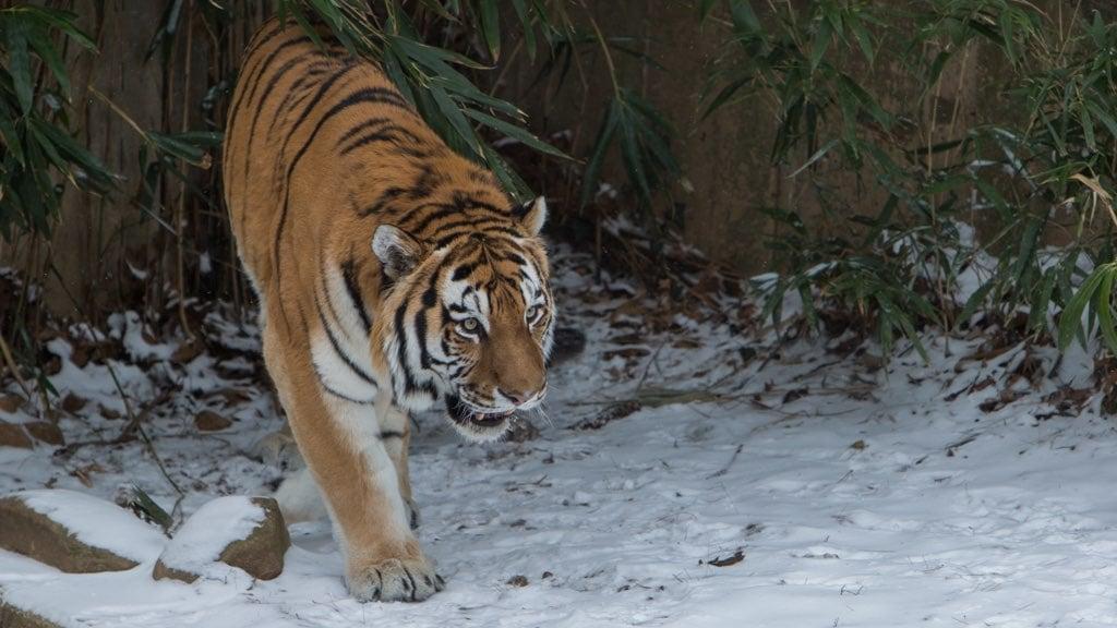 Pavel Tiger National Zoo