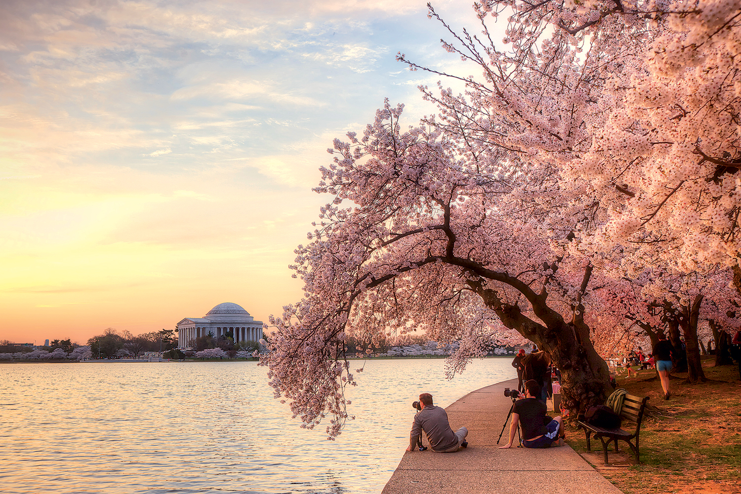 Stats You Didn't Know About DC's Cherry Blossoms