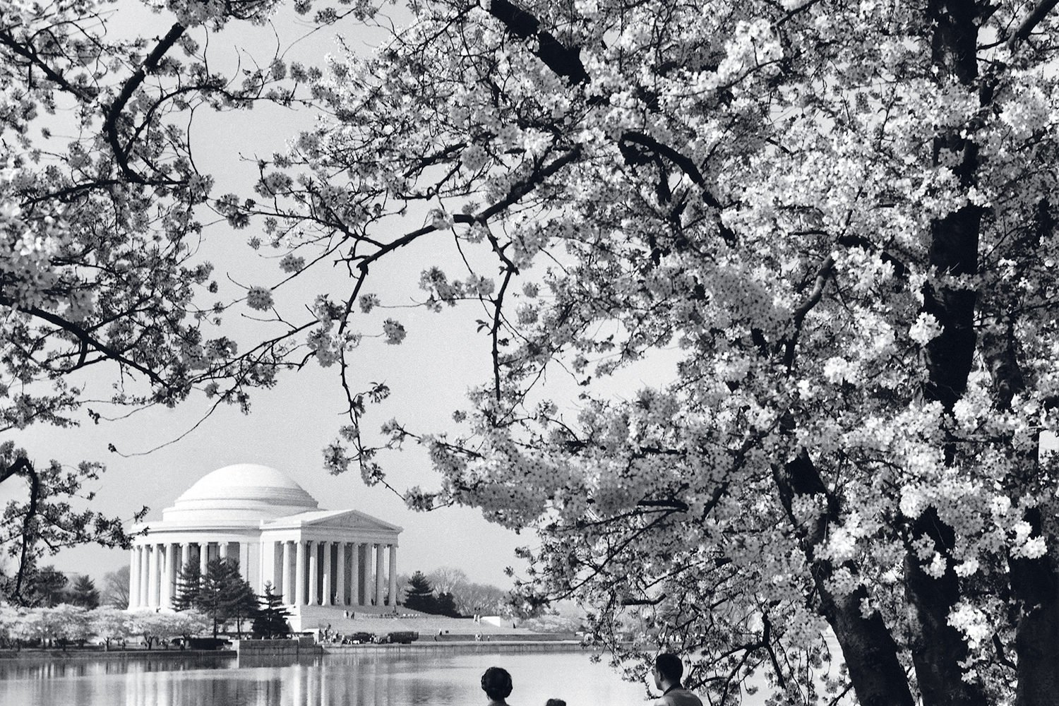 The Ultimate Guide to DC's Cherry Blossoms