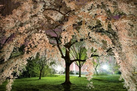 Why DC's Cherry Blossoms Are Overrated