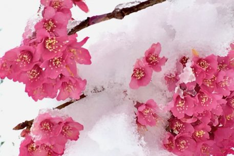 This Spring Snowstorm Shouldn't Harm the Cherry Blossoms