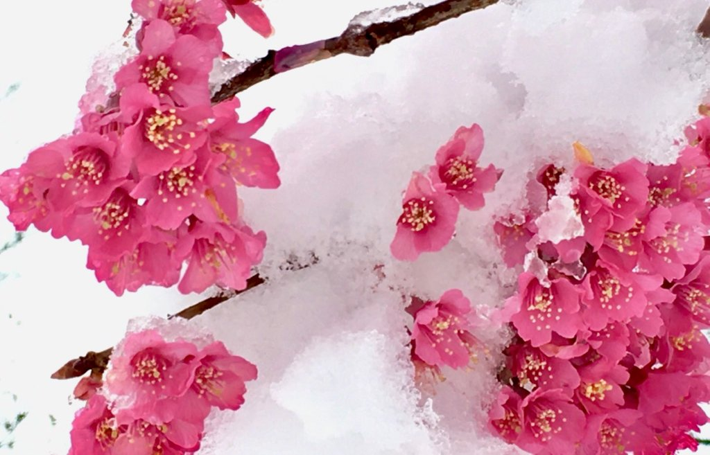 This Spring Snowstorm Shouldn T Harm The Cherry Blossoms