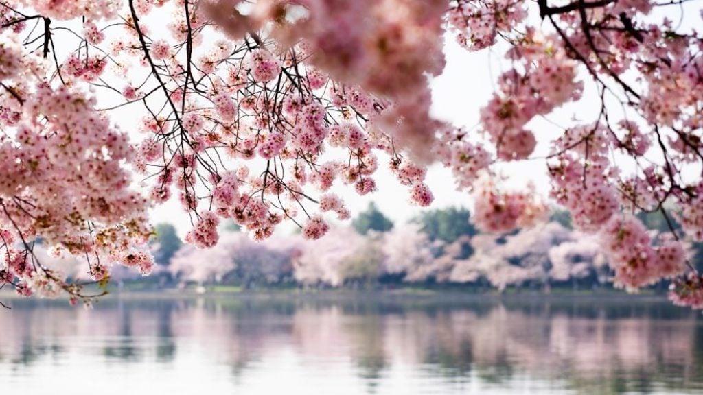 Cherry Blossom spa treatment
