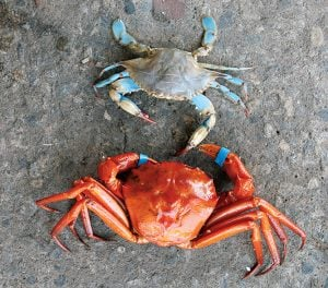 Love Blue Crabs? Meet the Red Crab