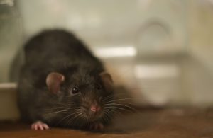 Are Cat-Sized Rats Taking Over DC?