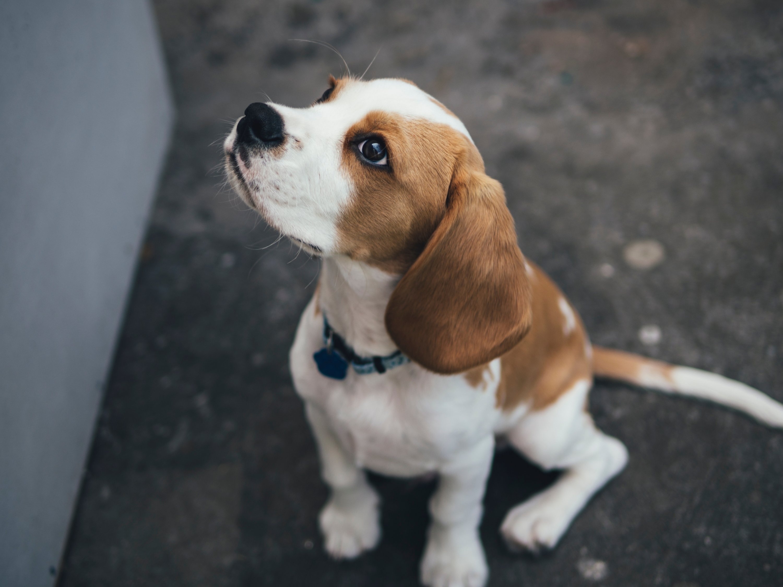 Washingtonia's Cutest Dog Contest. Beagle puppy
