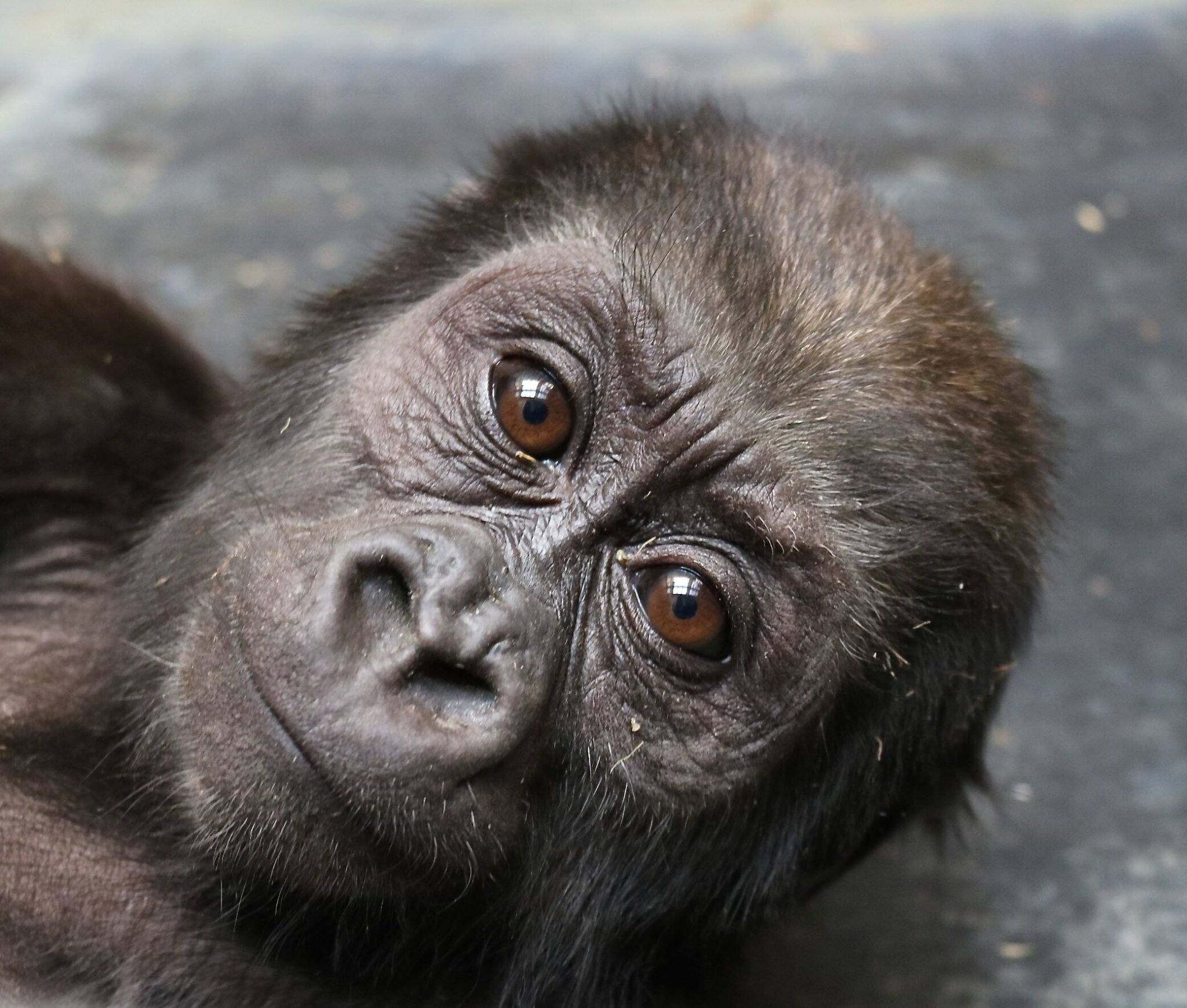 Moke the baby gorilla is recovering from a fractured femur. Photograph by Melba Brown.