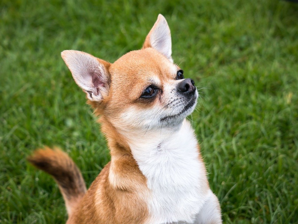 A large quantity of rescued chihuahuas are up for adoption in the DC area. Photograph courtesy of Pixabay.