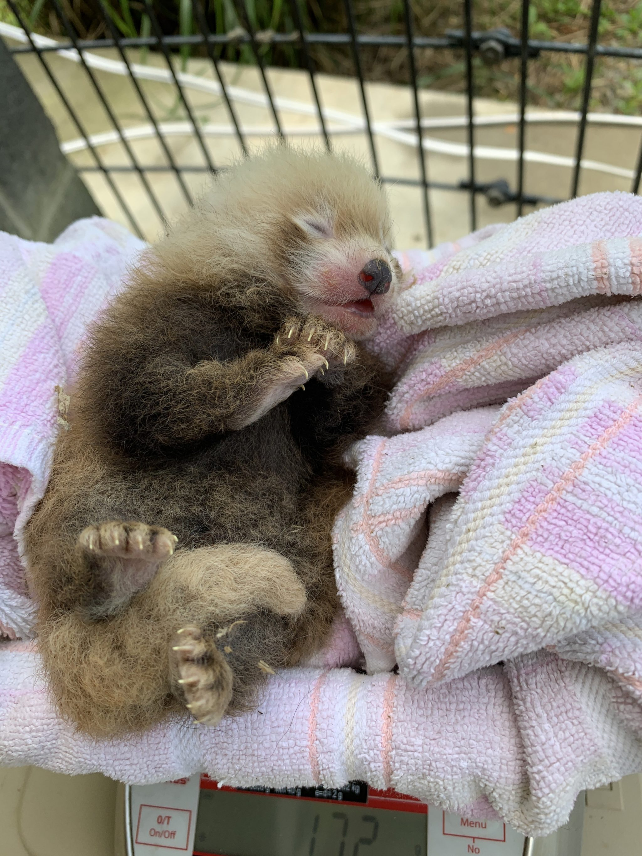 Let Us Now Appreciate the Smithsonian's New Red Panda Cub