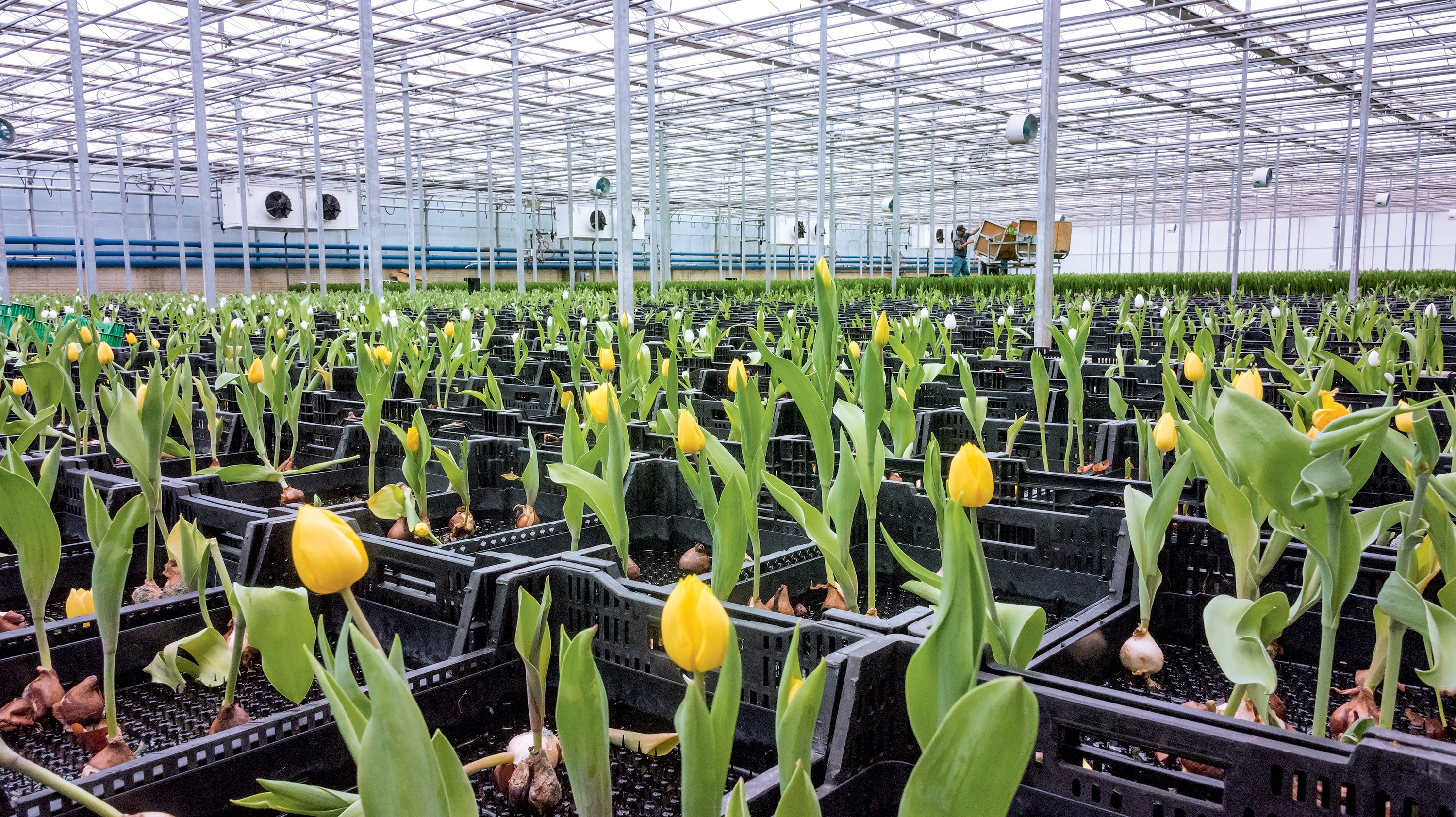 Here's Where Your Locally Grown Whole Foods Tulips Really Come From