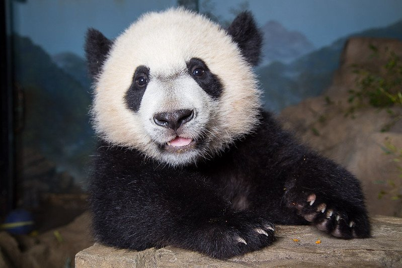 It's Official: Bei Bei Is Leaving the National Zoo