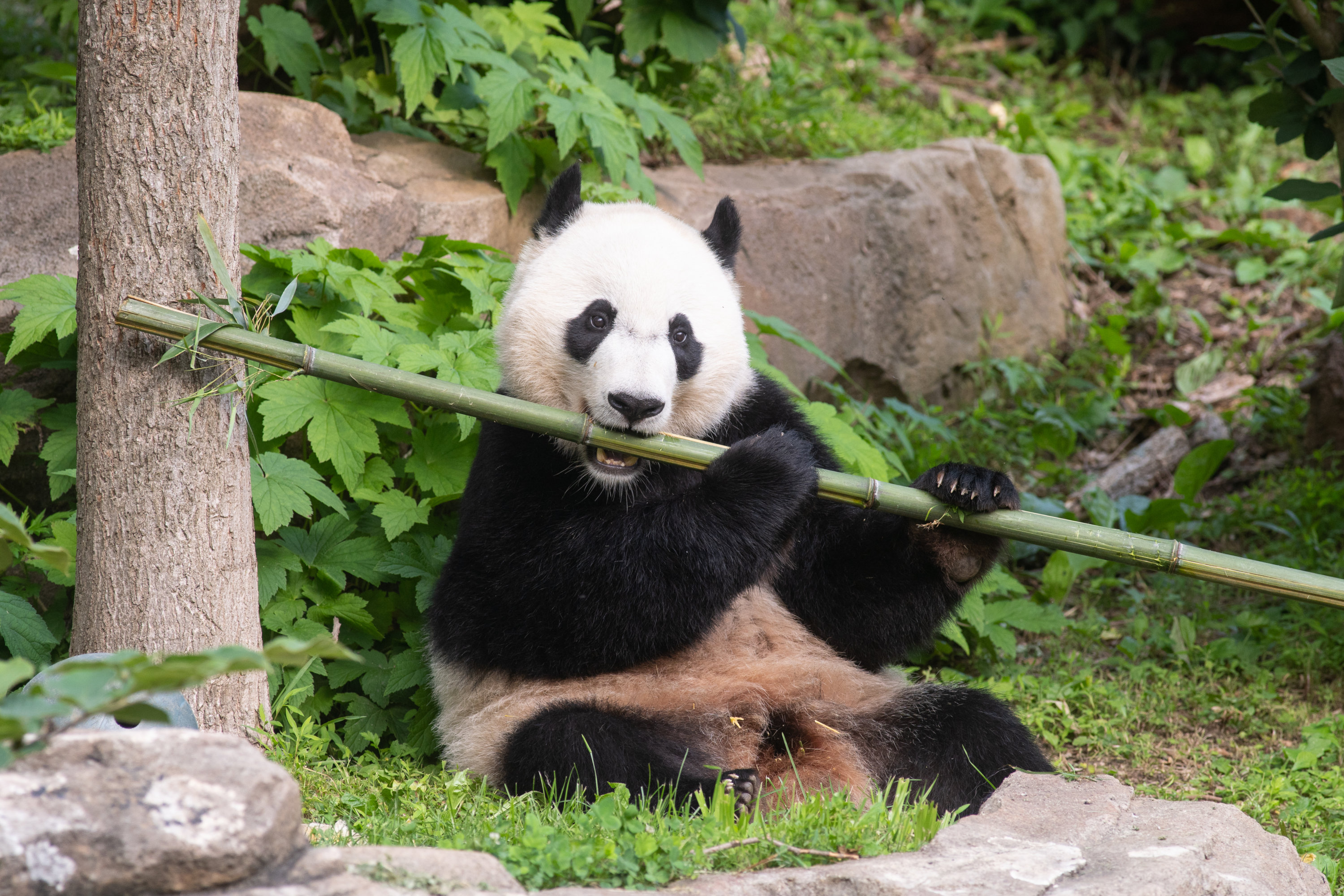 """It May Be Your Last Chance to Say """"Bye Bye, Bei Bei"""""""