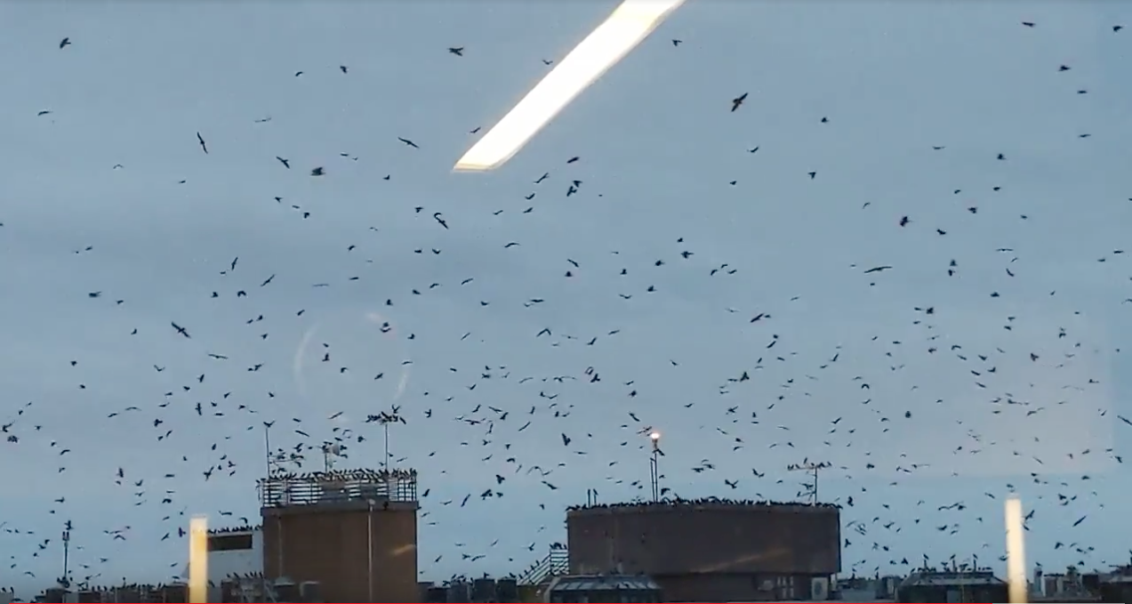 Rosslyn Is Invaded by Crows Every Night