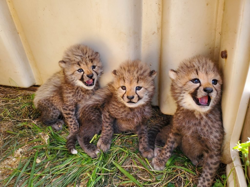 We Must Name the Cheetah Cubs   Washingtonian (DC)