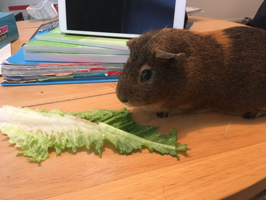 Kevin the Classroom Guinea Pig Is Staying in Touch With Kindergartners Via Zoom   Washingtonian (DC)