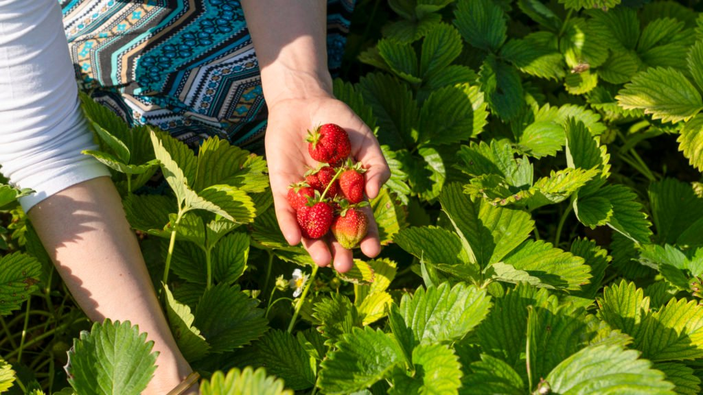 Pick-Your-Own Strawberry Patches Are Taking Reservations   Washingtonian (DC)