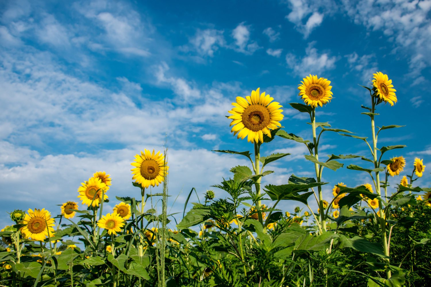 The sunflowers at Mckee-Beshers. Photo by Flickr user angela n.