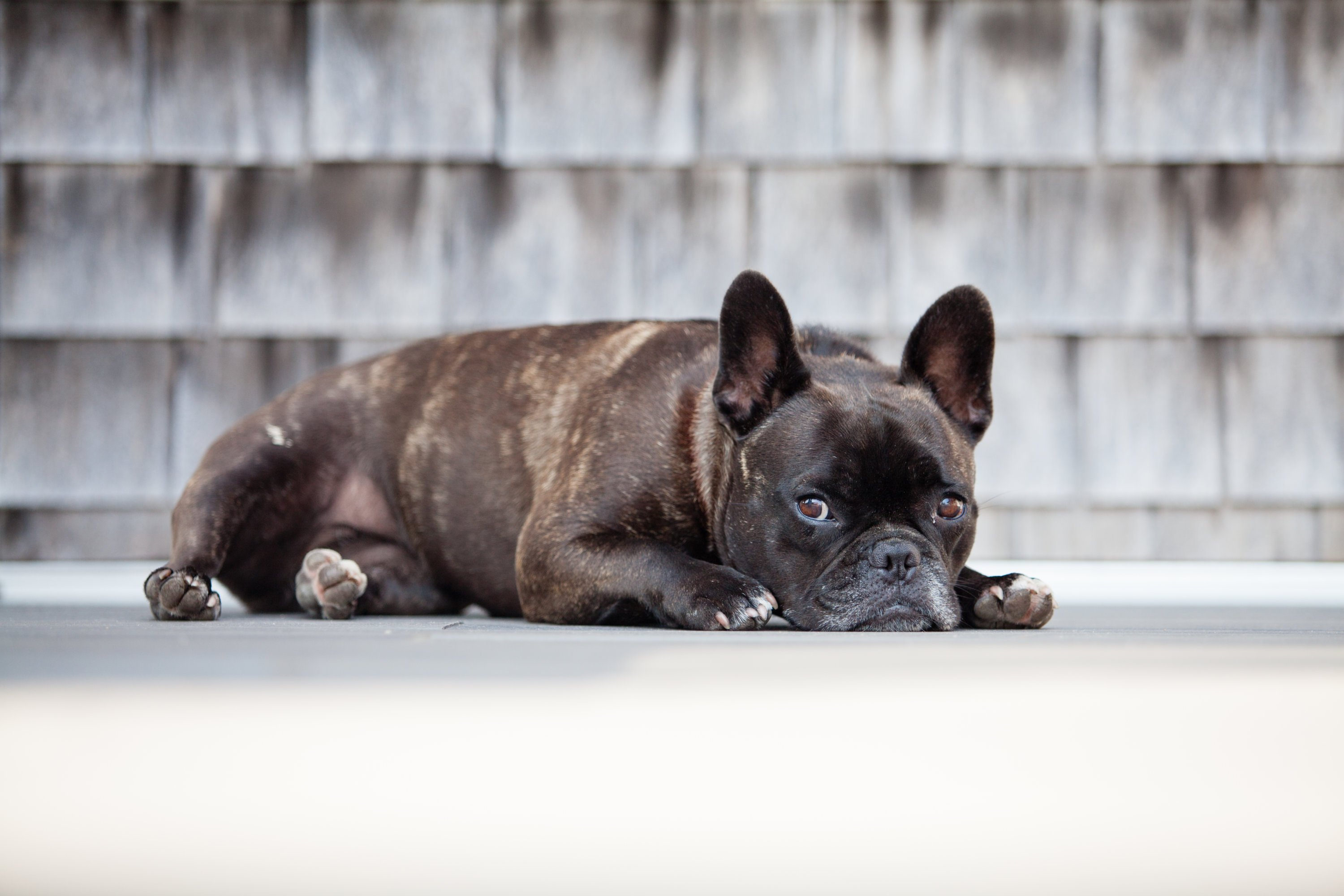 The bagel shop's namesake is the Coxes' French bulldog Pearl. Photo courtesy of Pearl's Bagels.